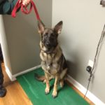 Heidi is a young German Shepard is getting weighed